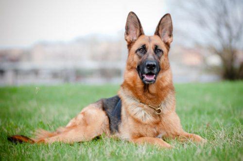 Pastore tedesco, il cane per tutti - Petitamis - Daily Cuddle
