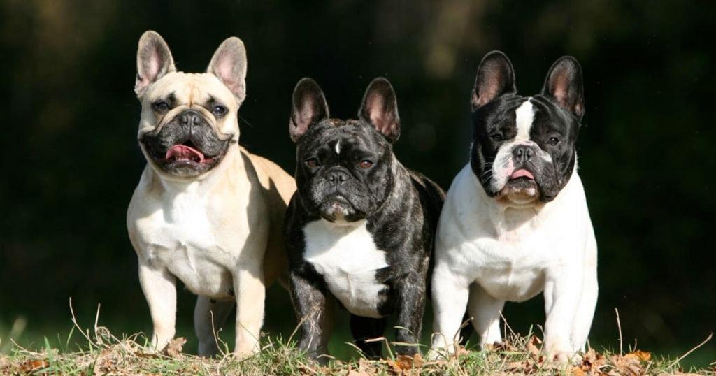 Bulldog francese il nostro piccolo ercole petitamis for Piccolo in francese
