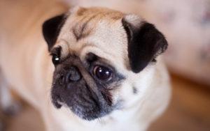 Cane Carlino, un fedele compagno da più di duemila anni - Petitamis