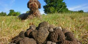 Come addestrare un cucciolo alla ricerca del tartufo - Petitamis