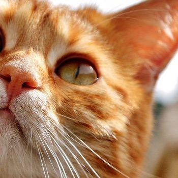 Allergia al gatto