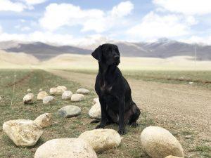 cani labrador