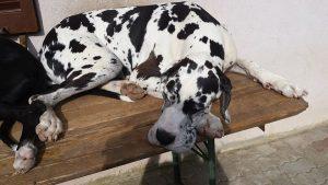 Cane Alano, il gigante dal cuore buono - Petitamis - Daily Cuddle