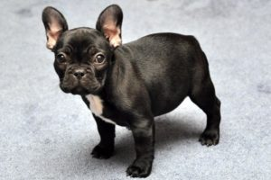 """Bulldog Francese, il nostro """"piccolo Ercole"""" - Petitamis - Daily Cuddle"""