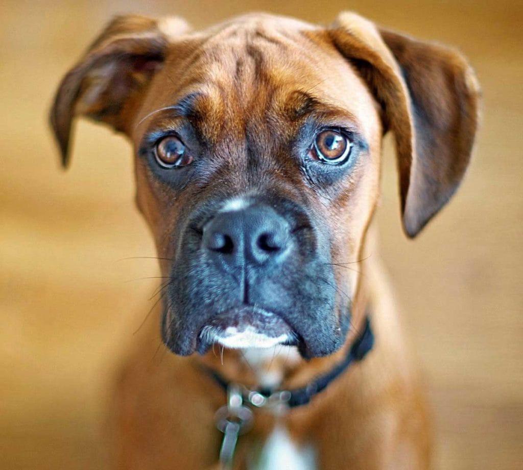 Il boxer, un impavido cucciolone - Petitamis