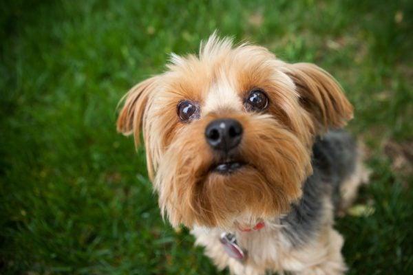 Yorkshire Terrier, un piccolo dal cuore impavido - Petitamis