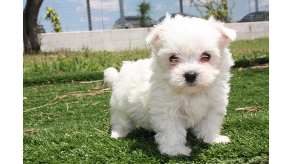 Cane Maltese, un amico sensibile e protettivo